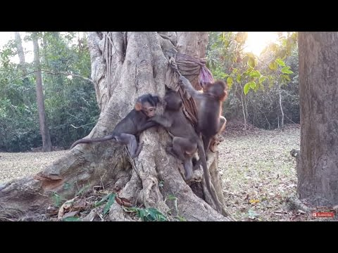little Baby Monkeys Climb Playing On Trees , HD # 78