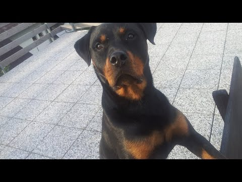 Dog Prank - How to prank a Rottweiler