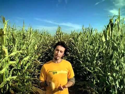 GM Corn Maize