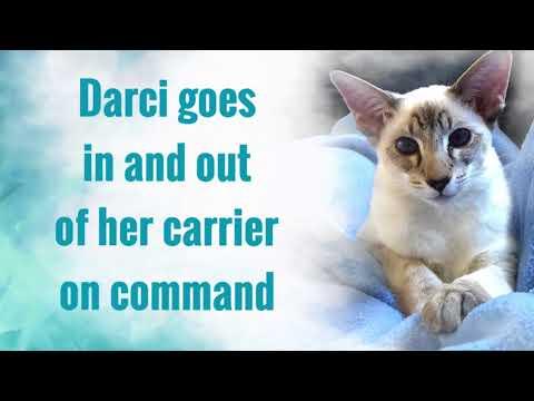 Balinese Cat Darci - More new tricks