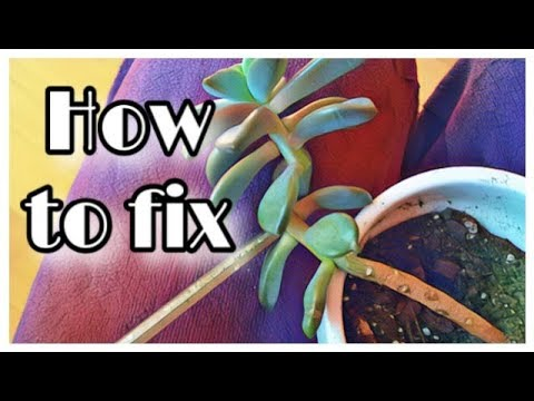 how-to-fix-leggy,-stretched-out-succulents!-quickly!