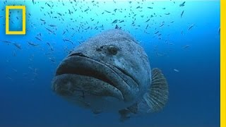 Photographer Swims With Huge Goliath Groupers | National Geographic