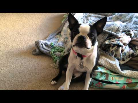 Funny Boston Terrier Dolphin Impersonation  |  Boston Terribles