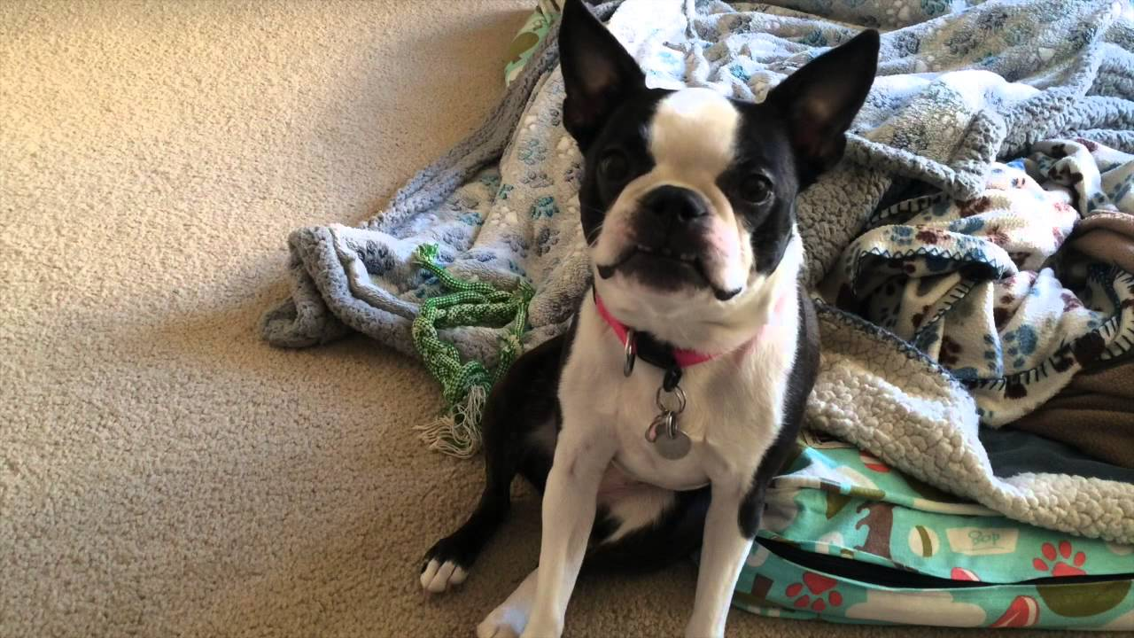Image For Boston Terrier Facts Pictures Price And Training Dog