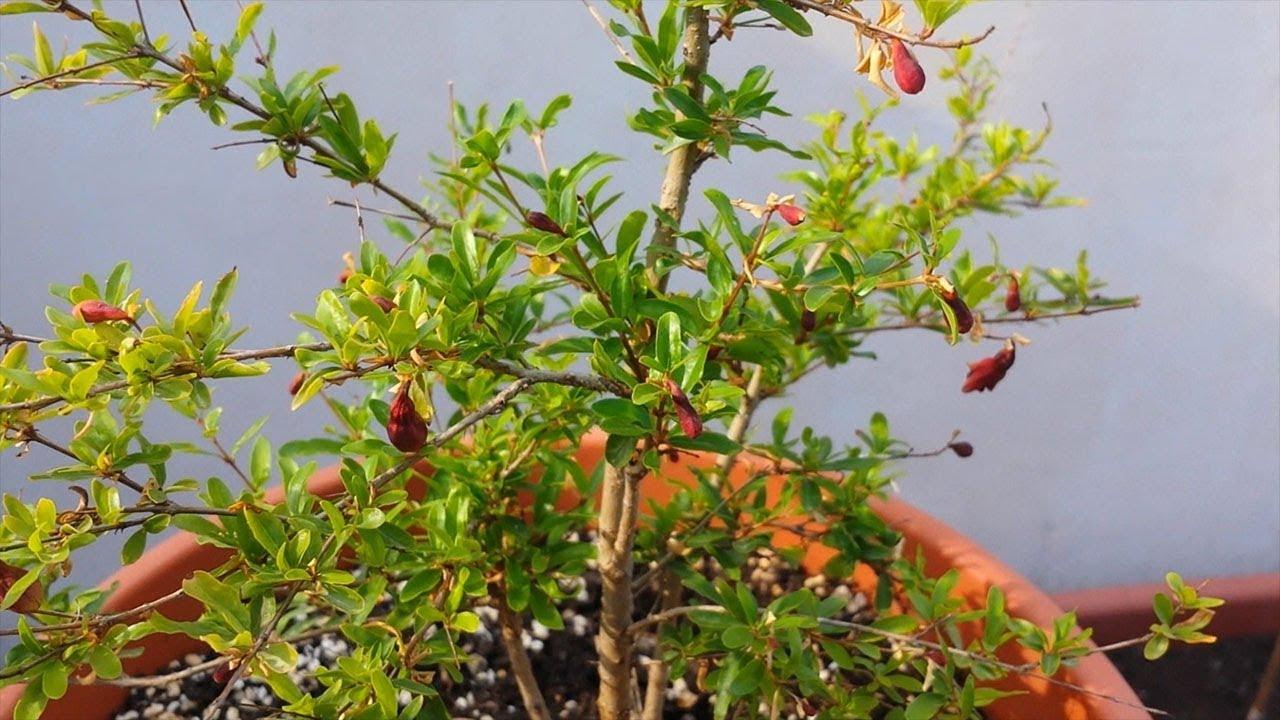 Dwarf Pomegranate Punica Granatum Bonsai Tree Youtube
