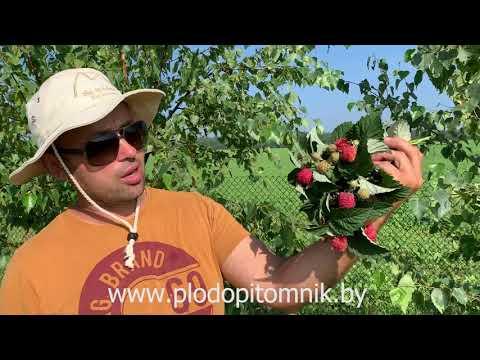 Малиновое дерево СКАЗКА. Ягоды так называемого малинового дерева либо штамбовой малины в питомнике