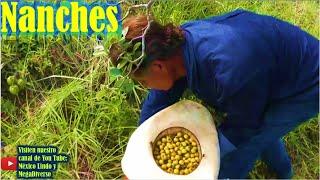 Gambar cover Juntando NANCHES por los cerros de la Mixteca Oaxaca 🌲 🍇 🌎