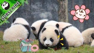 1.Панди б'ються за іграшки 2.Панди оточують няньки 3. Цікава панда про камери