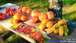 Сезон помидора 2018г/ Мой отзыв о урожайности 11 сортов и 1 гибрида/ #урожай #томаты #огород #tomato