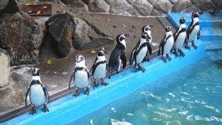 長野市城山動物園のゴハンが待ちきれないペンギン達。横歩きしたり首を...