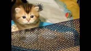 Шотландские котята. Купить в Казани