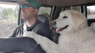 Maremma Sheepdog Miley | Loves Roadtrips!