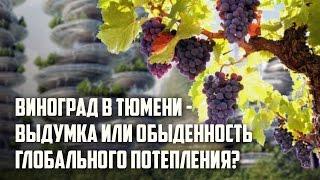 Виноград в Тюмени   выдумка или обыденность  глобального потепления?