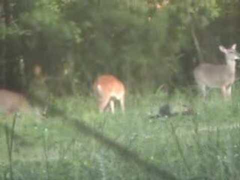 2008 turkey / deer feeding together