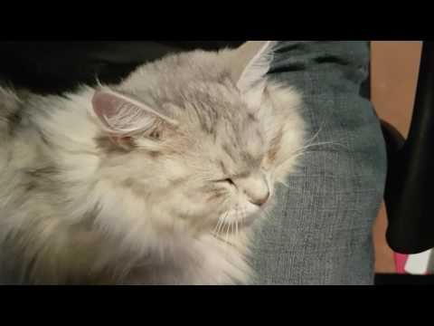 Siberian cat answers back