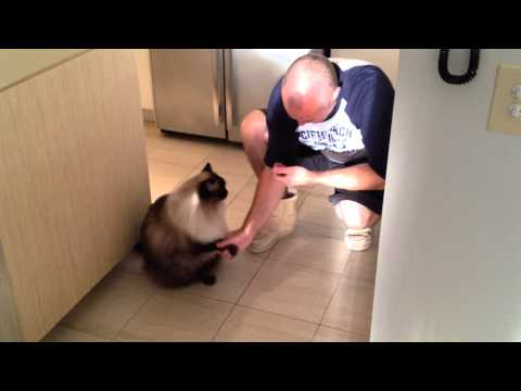 Billy The Ragdoll Cat Shakes Hands