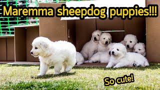 ลูกหมาสุดน่ารัก Adorable Maremma Sheepdog puppies 2020