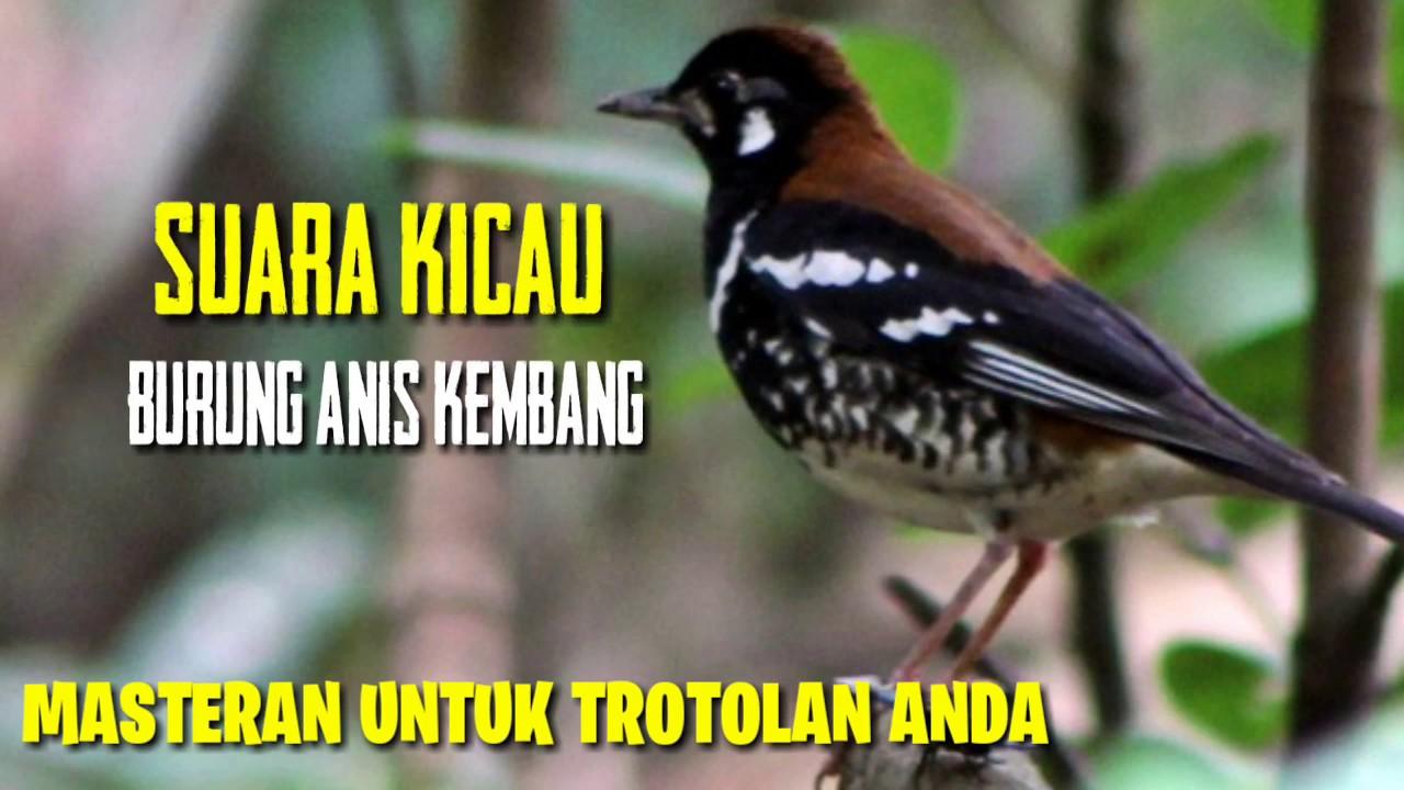Masteran Kompilasi Suara Burung Anis Kembang Gacor Cocok Untuk Terapi Burung Yang Macet Bunyi Youtube