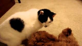 Zeke the goldendoodle lays on his back and licks Ringo