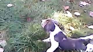 Beagle Puppy Blue  White Color