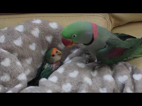 Coco l'inséparable et Saphir perruche grand Alexandre