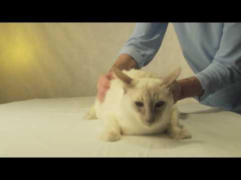 Как делать массаж кошке