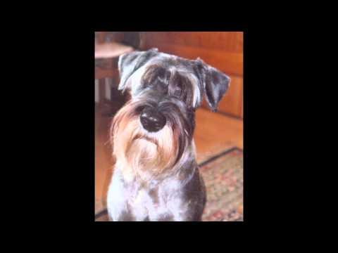 Цвергшнауцер/Miniature Schnauzer (порода собак HD slide show)!