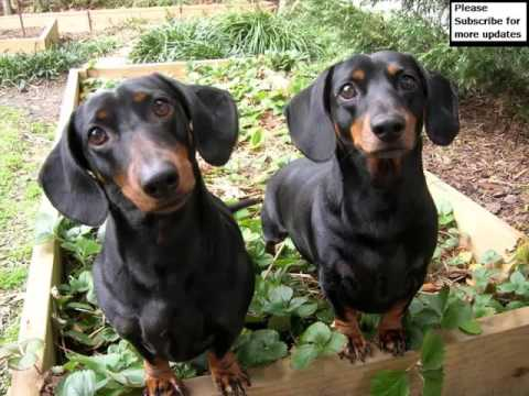 Collcetion Of Dog Breed Dachshund Pictures | Dachshund Dogs