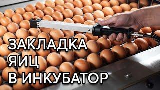 ИНКУБАЦИЯ ЯИЦ #2 Правильная закладка яиц в инкубатор.
