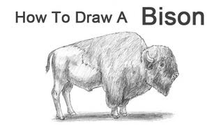 How to Draw a Bison (Buffalo)