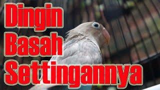 SETTINGAN LOVEBIRD PARPUT PASVIO HARIAN DAN LOMBA