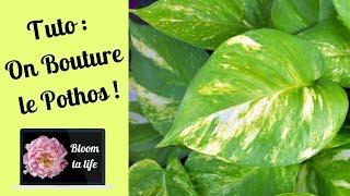 Tuto : On Bouture Le Pothos - Bloom ta life