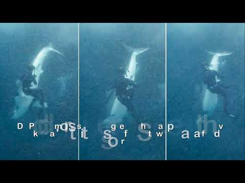 Great white shark snatches fin from Australian freediver