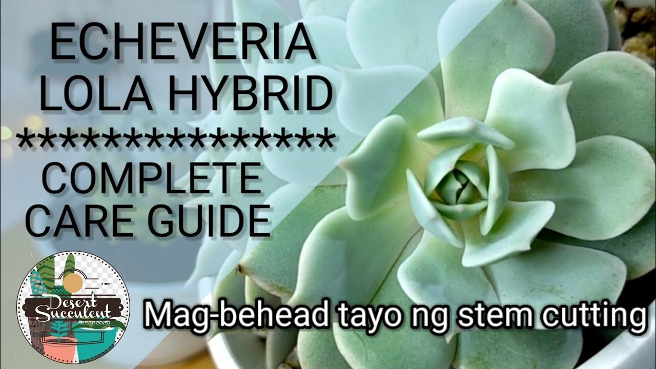 71/100 Hybrid Echeveria Lola Succulent Care Guide | Beheading Succulents and Propagation