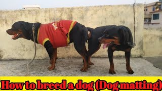 How to breed Rottweiler #Studdog #Dogcrossing #Dogmating ll Patna dog kennel ll