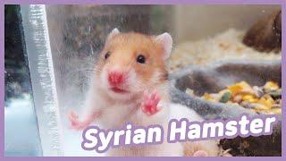 이마트 골든햄스터(Syrian hamster)