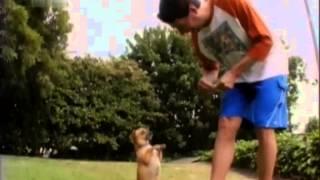 15 Дизайнерские собаки лабрадудль, пагль, чиуини, голдендудль, кавашон, чорки