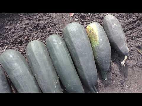 Вопрос: Как сохранить урожай кабачков?