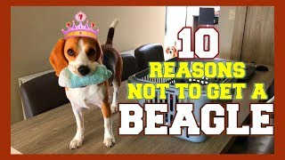10 Reasons why you should NOT get a BEAGLE! Funny Dogs Louie & Marie