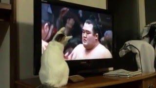 琴将菊と日馬富士戦を見てたら、トラが参戦!!まるで、一緒に相撲をと...
