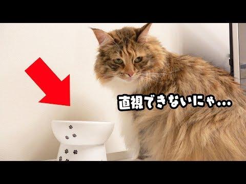 「おすわり」の時に餌を見ないようにする猫が可愛いw