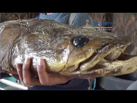 Mengenal Ikan Arapaima Gigas yang Kini Diburu