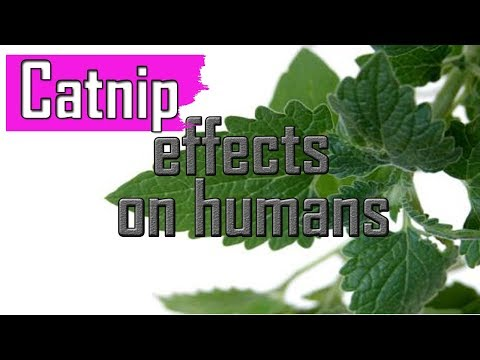 AMAZING  Catnip  Effects  On  Humans 🍏
