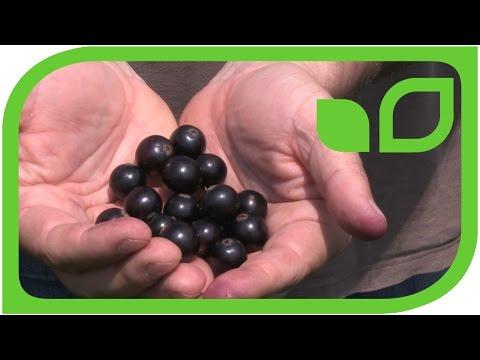 The Biggest Black Currant (Ribes nigrum)  'Blackbells' Ever