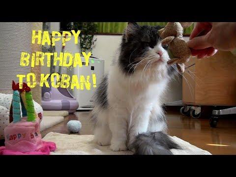 ラガマフィン猫コバン7歳の誕生日♥Ragamuffin cat KOBAN 7th birthday