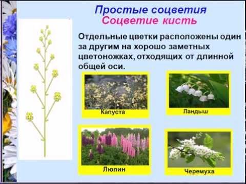 Соцветия простые и сложные цветки