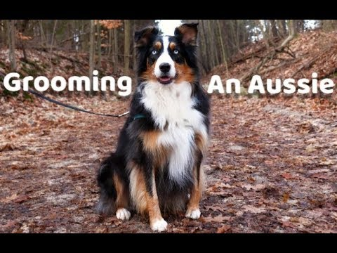 Grooming Your Dog at Home - Australian Shepherd Guide
