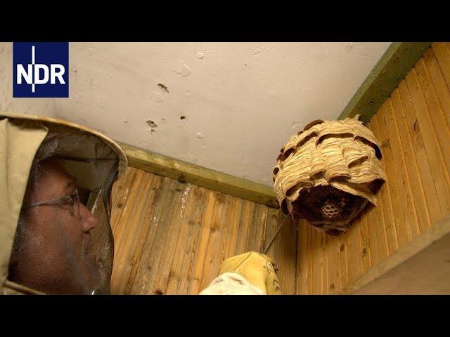 Keine Angst vor Wespen | die nordreportage | NDR