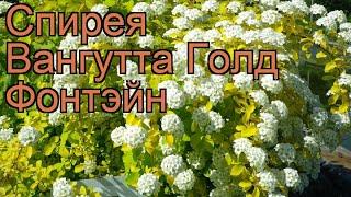 видео Цветы спирея вангутта и голд фонтейн