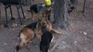 Puppies And Adults Playing National Forest Oklahoma - Von Der Otto German Shepherds